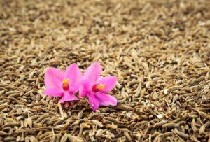 cumin spice health benefits